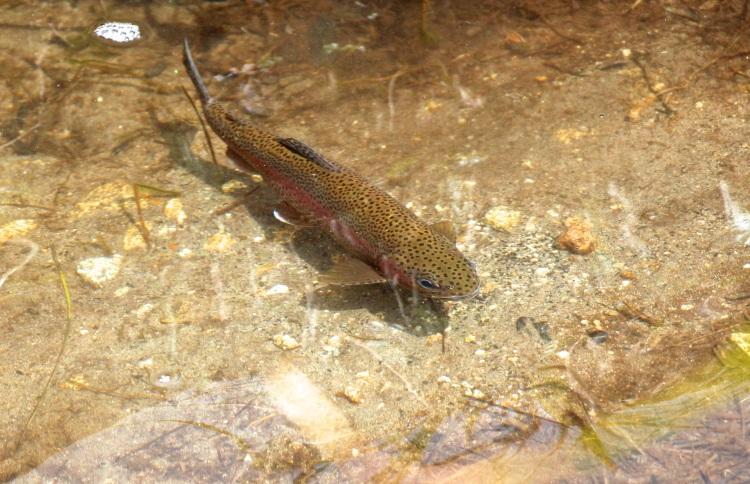 Trucha (trout)