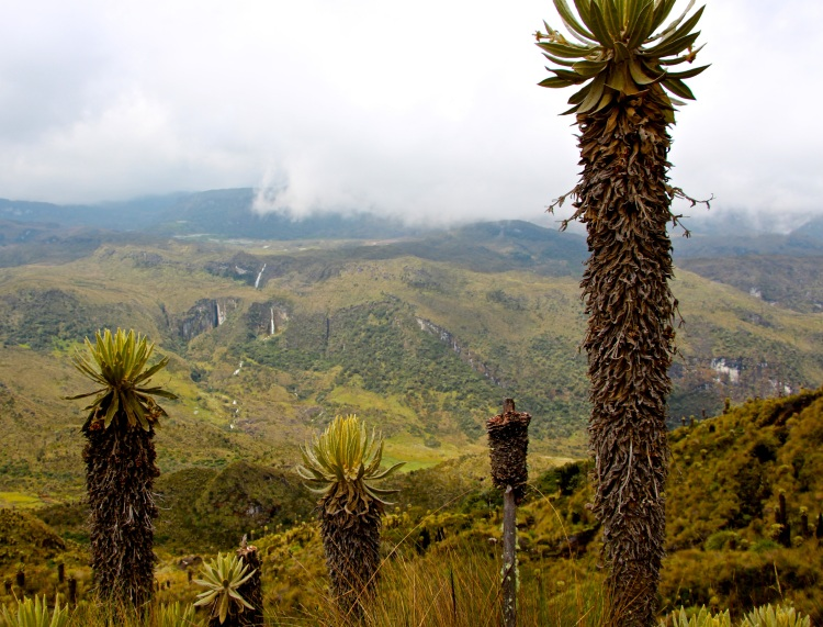 Frailejones, a cacti-looking plant that is exclusive to the Andes of Venezuela, Colombia, and Ecuador. It grows only 1cm/year, so the one in the right corner is likely 800-100 years old!