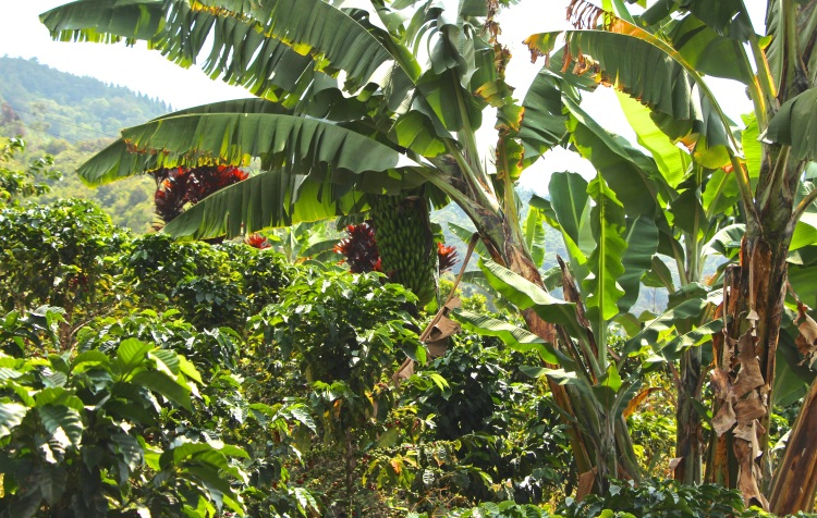 Banana trees provide shade and species diversity while nitrogen-fixers are strategically planted to improve the quality of the soil.