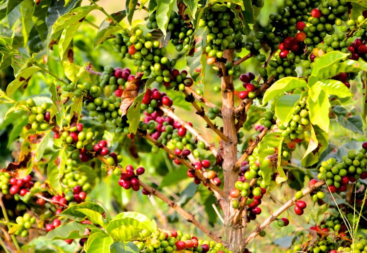 Arabica (the coffee beans typically grown in Colombia) is not native to Colombia. It originated in Ethiopia and was brought to Colombia by Jesuit priests in the 16th century. Coffee trees were planted after Colombians were ordered to plant 3-4 trees as penance for confession.