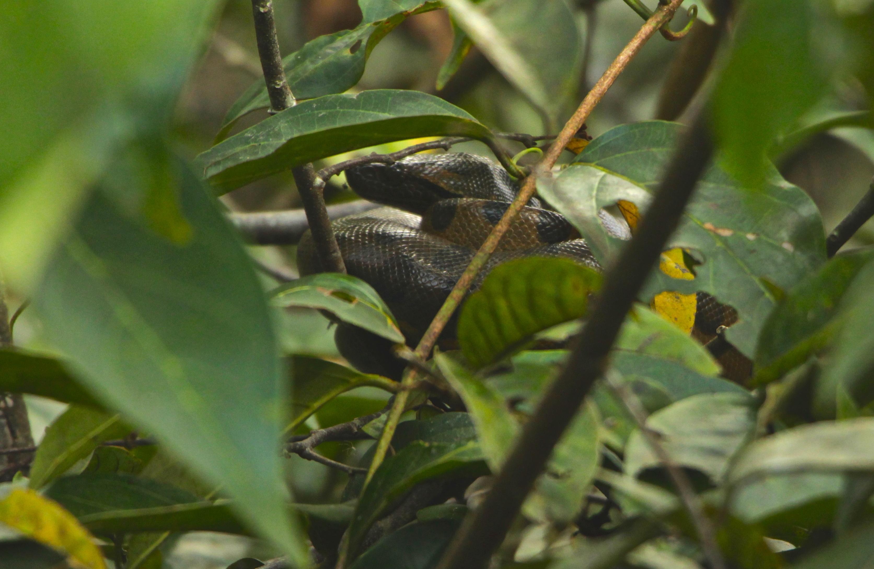 Baby Anaconda