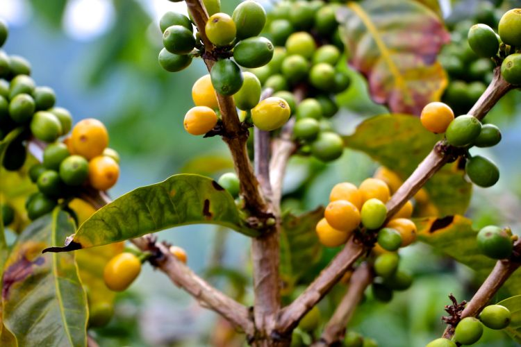 yellow-castillo-arabica-beans