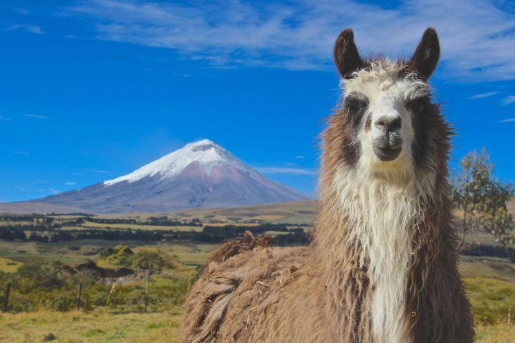 llama posing 3
