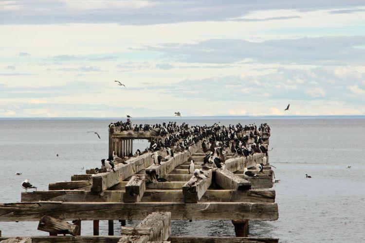 Puffins Punta Arenas